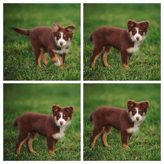 Die kleine süße Luzi noch mit flauschigem Welpenfell. - welpe, miniaussie, Hund, Flauschig, dog, australiansheperd