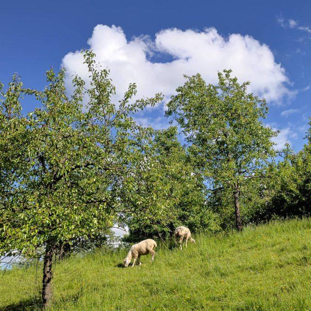 Schafe und Wolke am Stadtweiher.