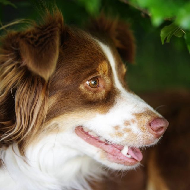 Luzi lächelt zufrieden. - miniaussie, kempten, Hund, dog, australiansheperd, Lächeln
