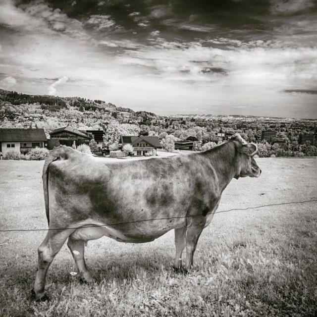 Kuh in Bucharts schaut nach Kempten.