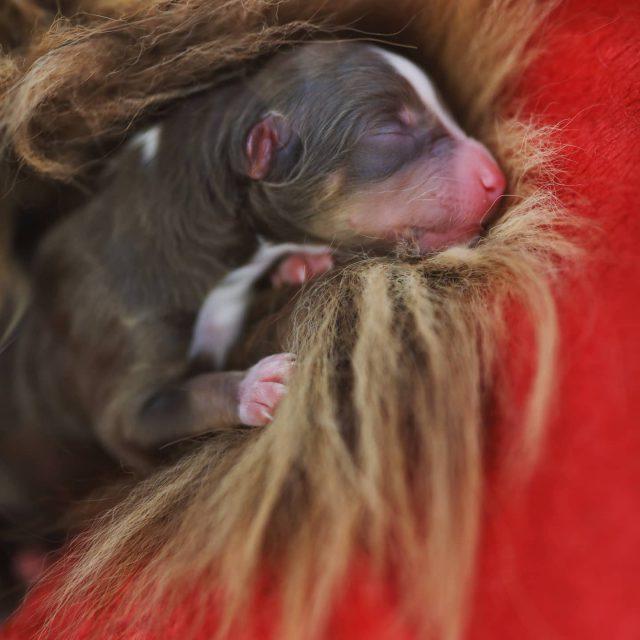 Loui am Tag der Geburt. #newborn #hund # ... - miniaussie, kempten, Hund, dog, australiansheperd, puppy, australiansheperdpuppy, newborn