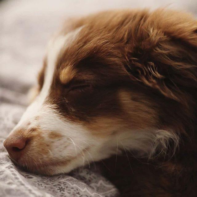 Träum was Schönes. - schlafen, schlaf, müde, miniaussie, Hund, dog, australiansheperd