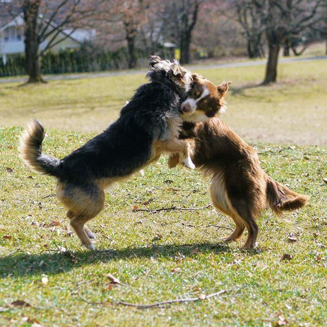 Luzi beim Spiel mit der lieben Krümel. - spiel, miniaussie, Hund, dog, australiansheperd