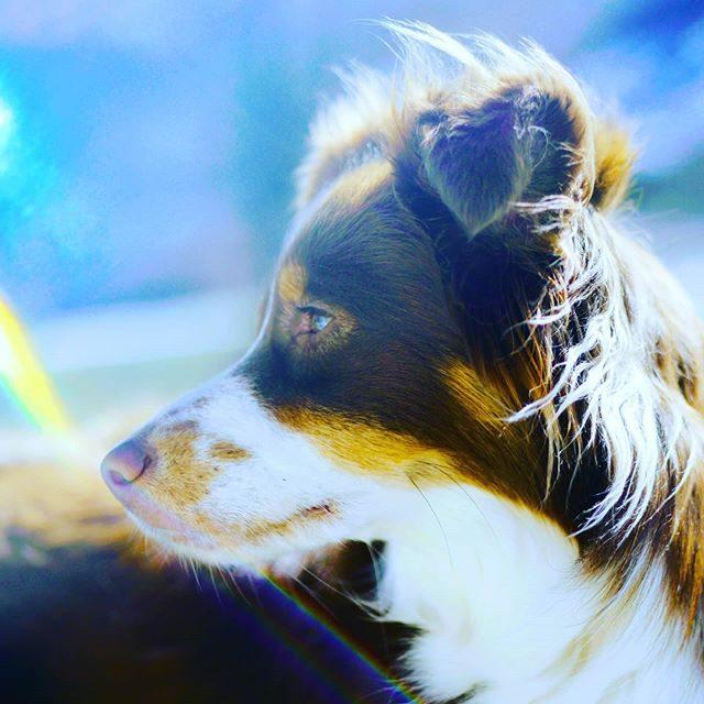 Luzi und das bunte Licht. - miniaussie, Hund, dog, australiansheperd