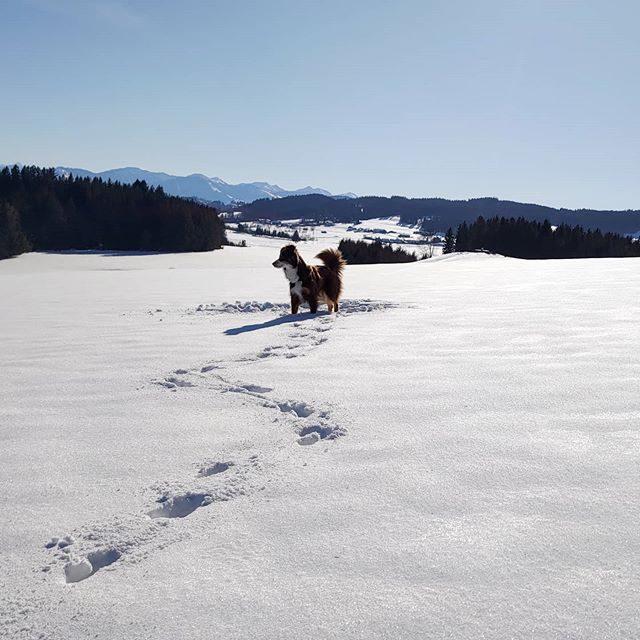 Luzi und das weite Land. - winter, spur, schnee, miniaussie, landschaft, Hund, fährte, dog, berge, australiansheperd, alps, alpen, allgäu