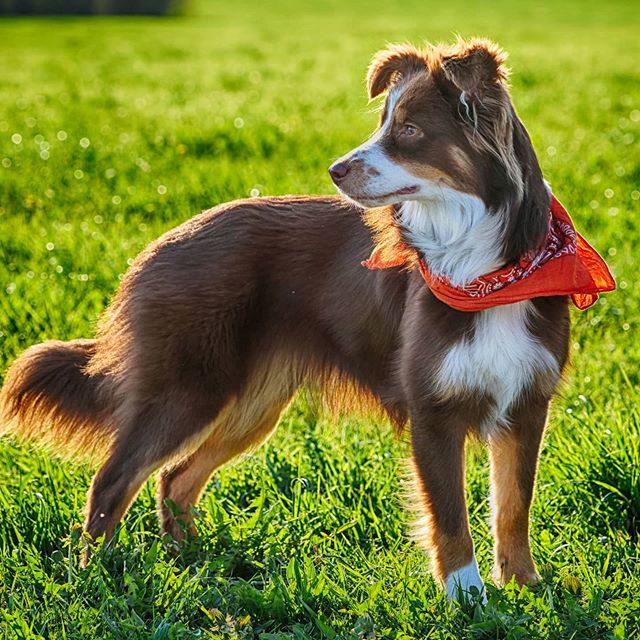Luzi mit Halstuch. - miniaussie, Hund, halstuch, dog, australiansheperd