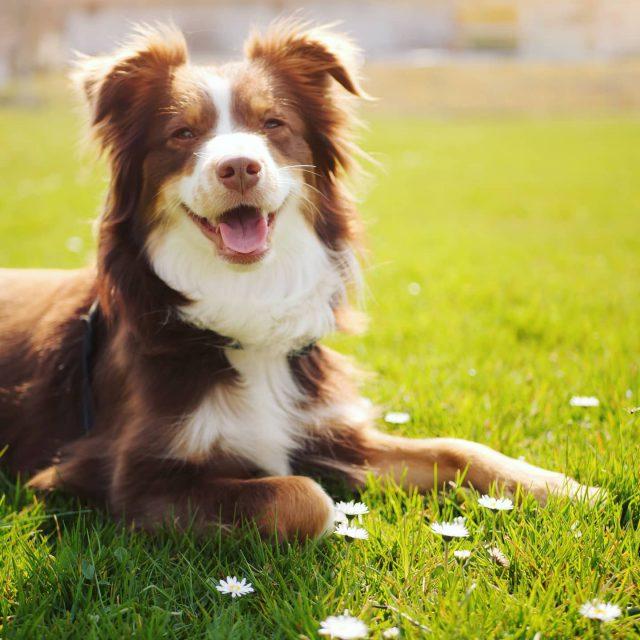 Luzi freut sich über die ersten Gänseblümchen. - miniaussie, Luzi, lachen, kempten, Hund, gänseblümchen, freuen, freude, dog, australiansheperd