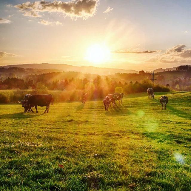 Kühe auf einer Wiese bei Bucharts. - sonne, kempten, Bucharts, braunvieh