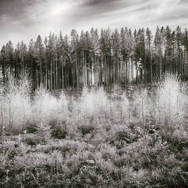 Wald bei Bucharts.