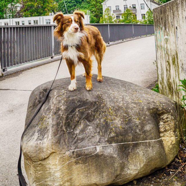 Luzi thront auf einem Stein. - stein, miniaussie, kempten, Iller, Hund, dog, australiansheperd
