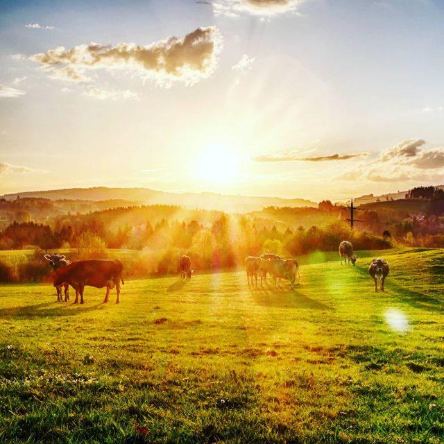 Kühe auf einer Weide in Kempten.