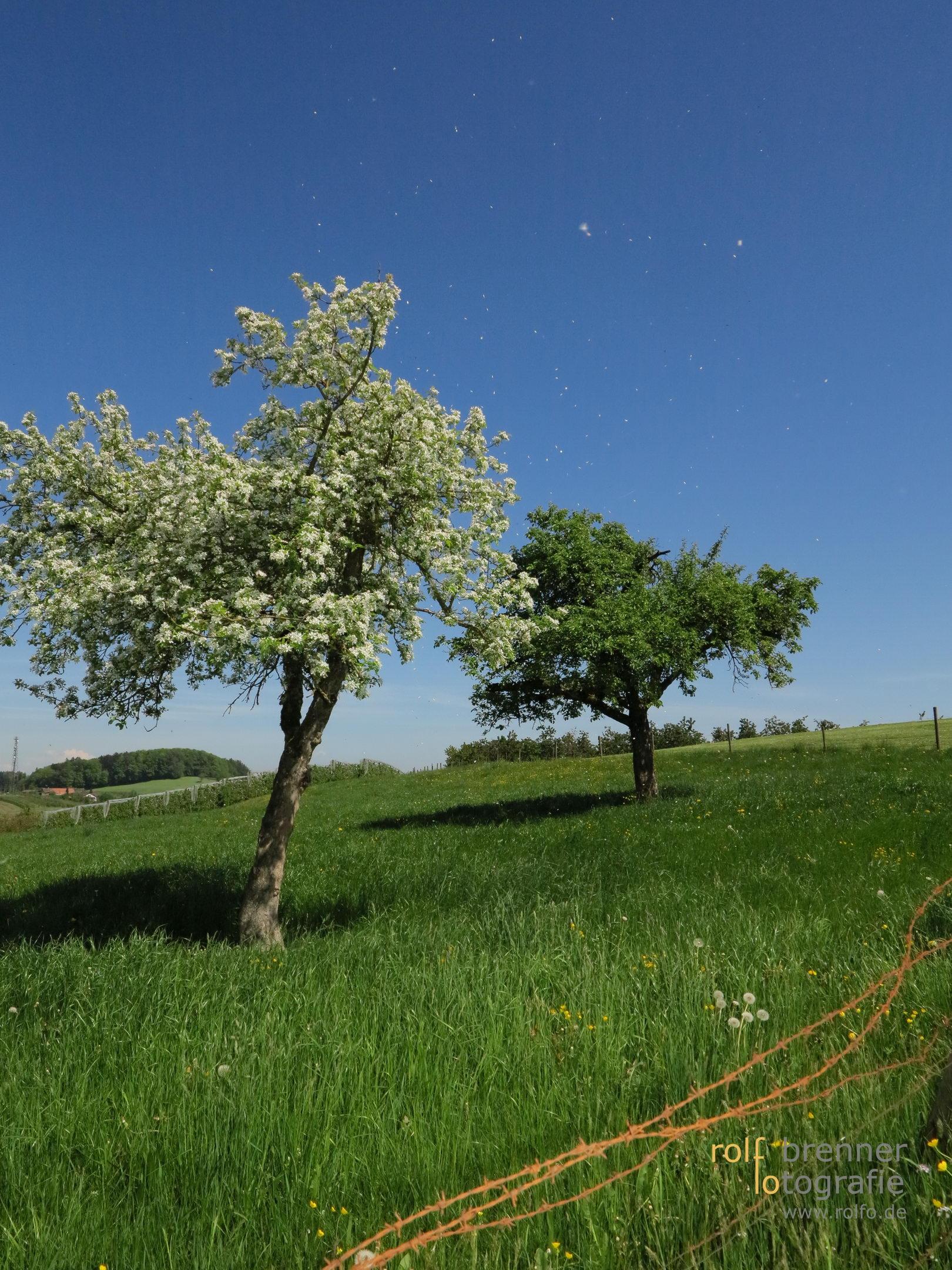 Apfelblüten werden vom Wind fortgetragen