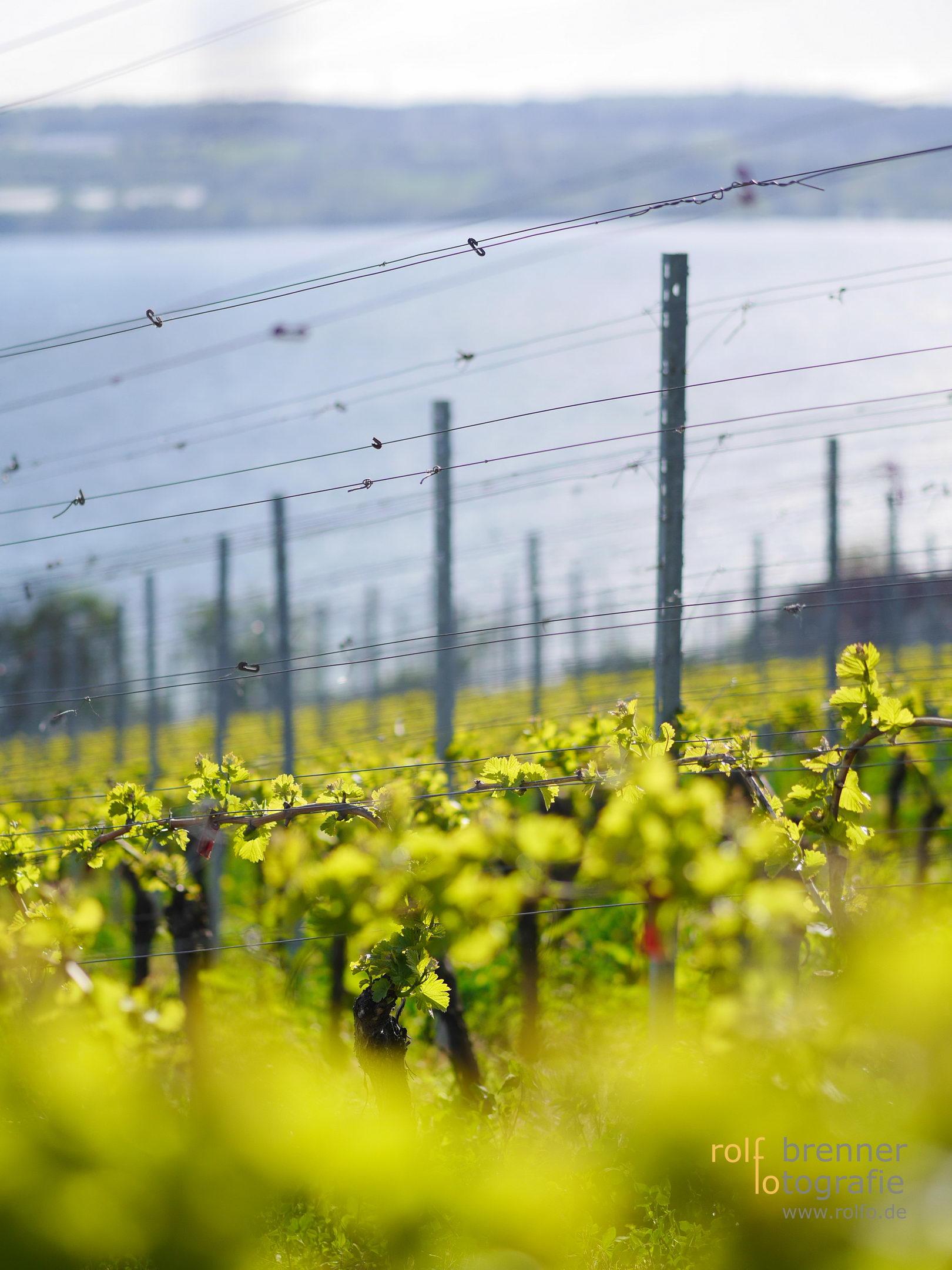 junge Weinreben am sonnigen Bodensee