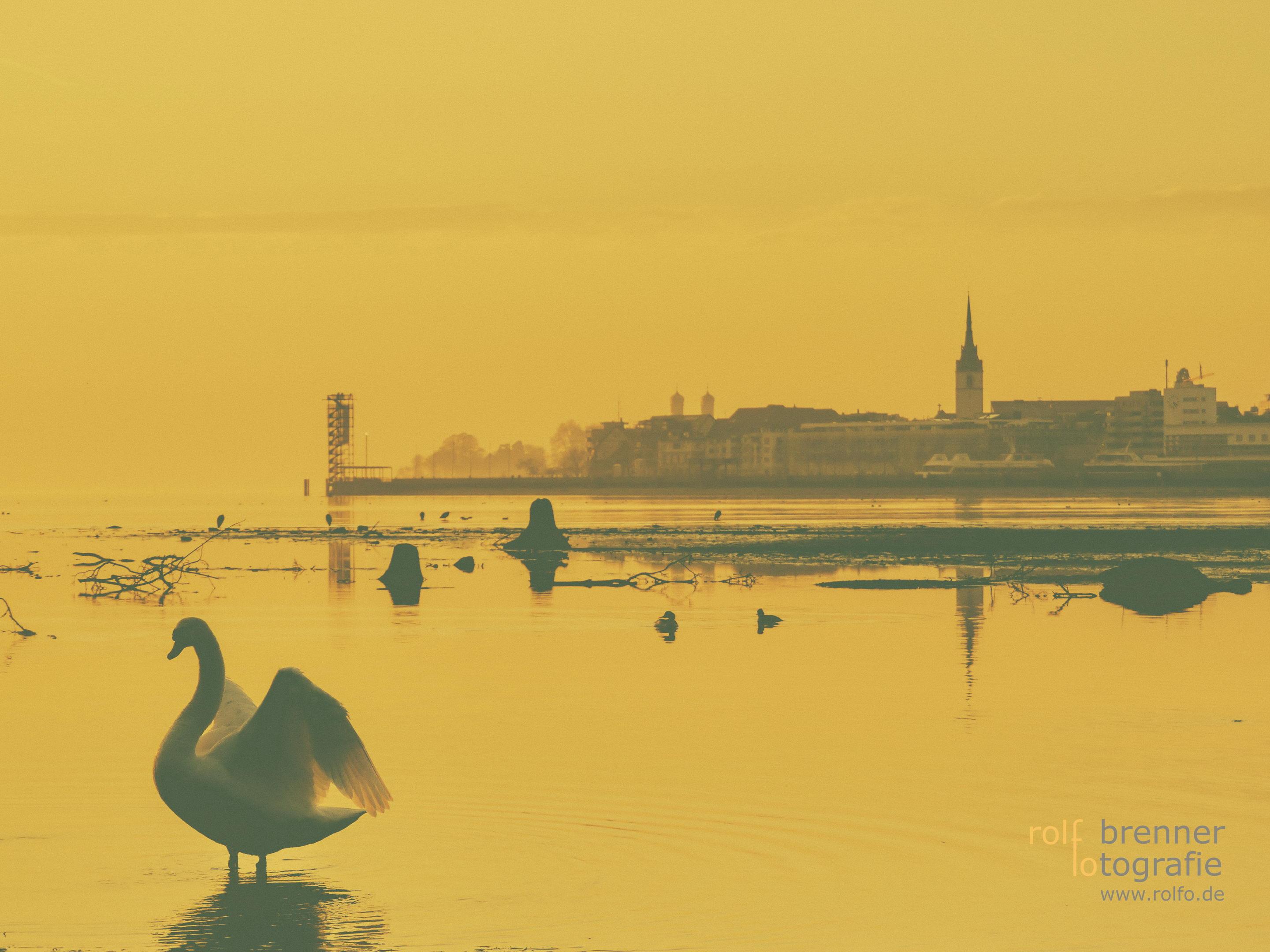 Schwan wacht vor Friedrichshafen