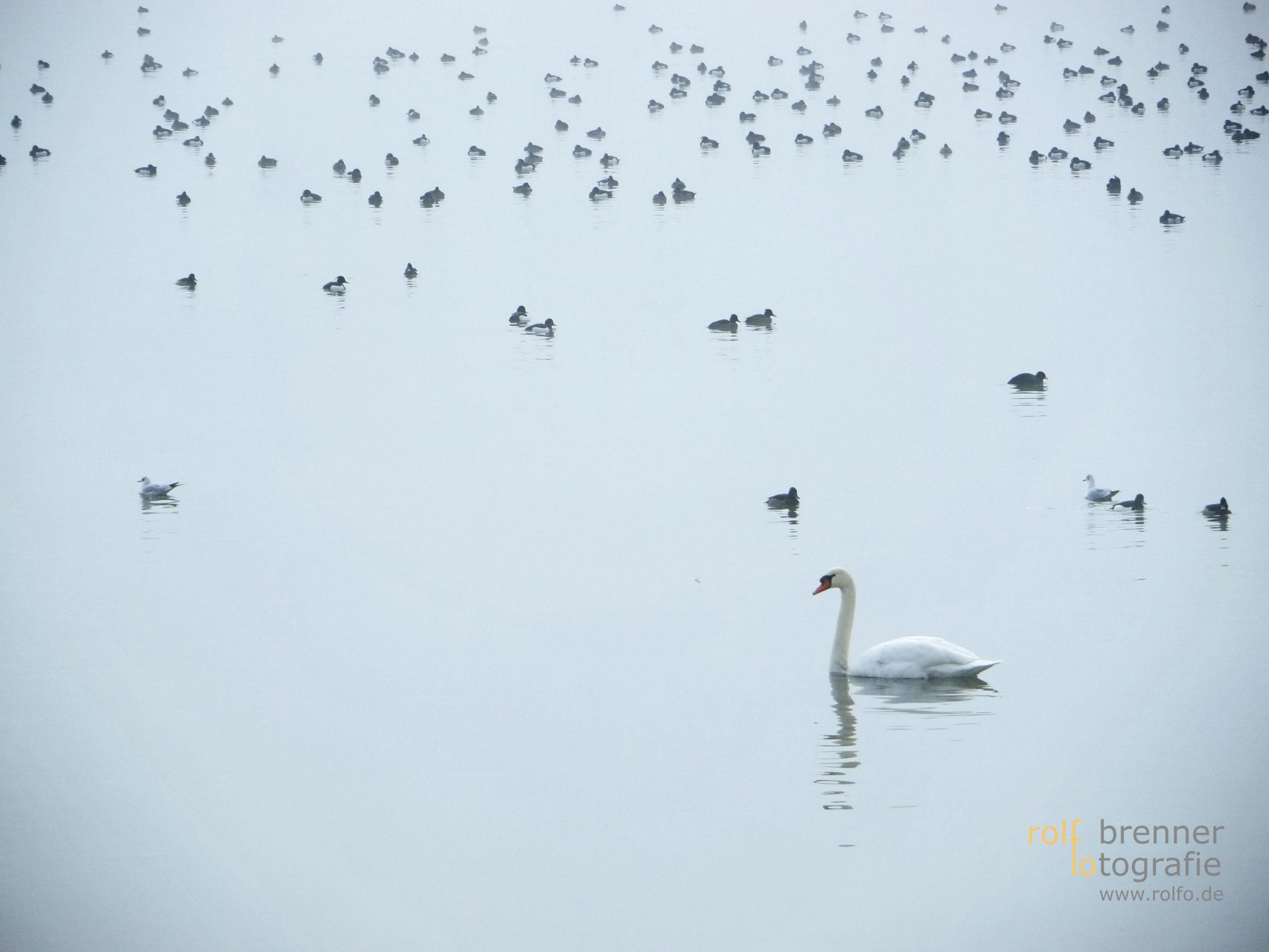 Vögel im Bodensee